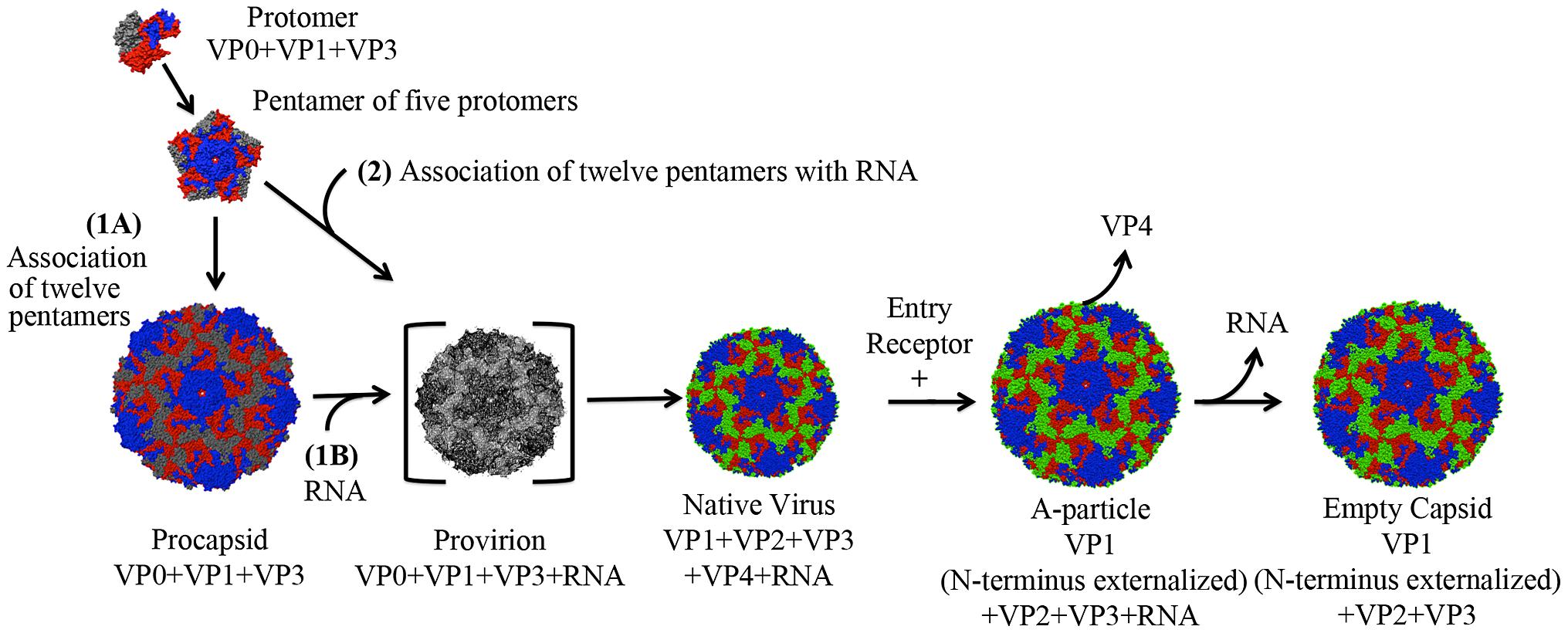 Lifecycle of a human enterovirus.