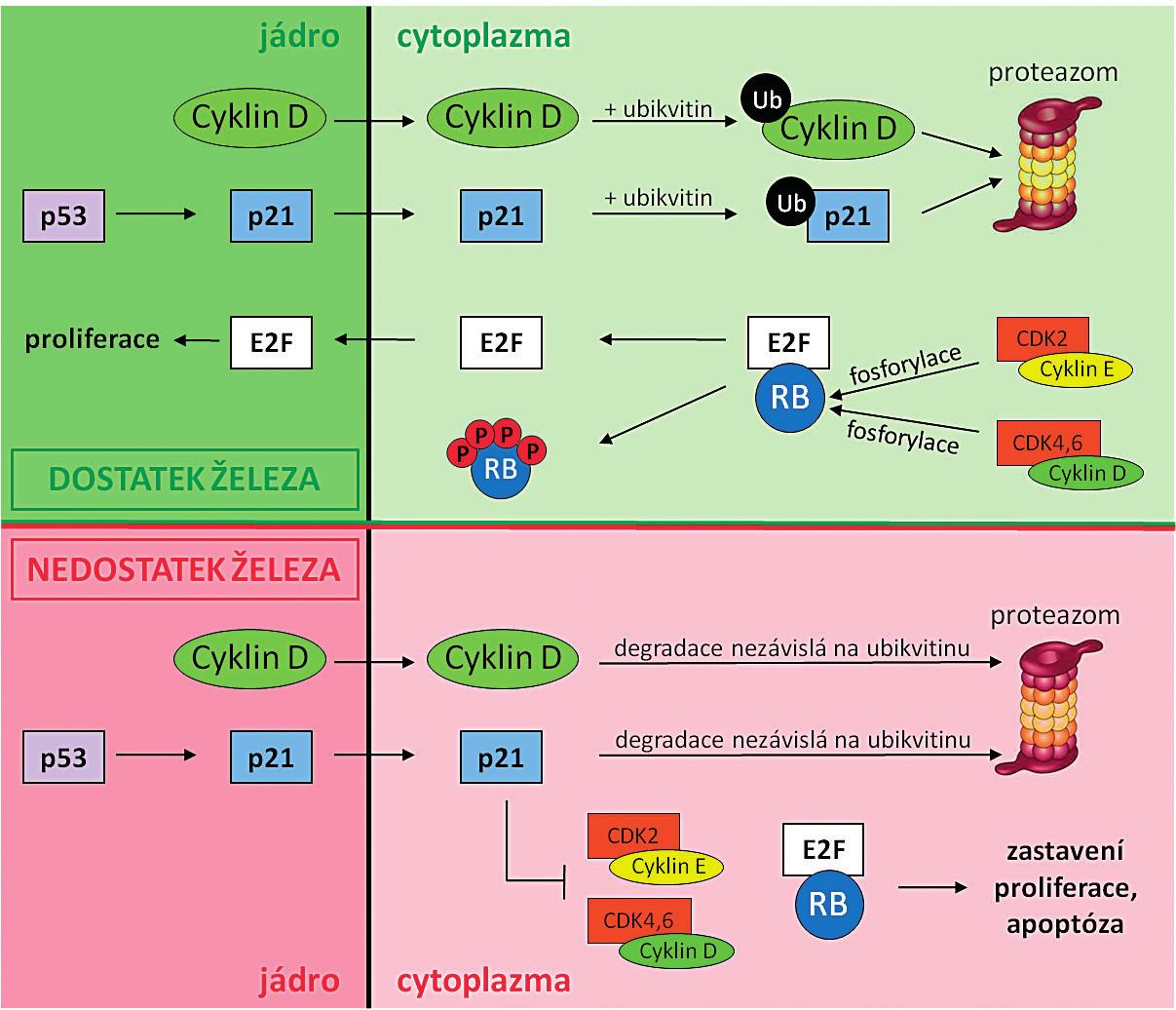 Srovnání funkce a mechanismu degradace cyklinu D a proteinu p21 za normálních podmínek   a při nedostatku železa