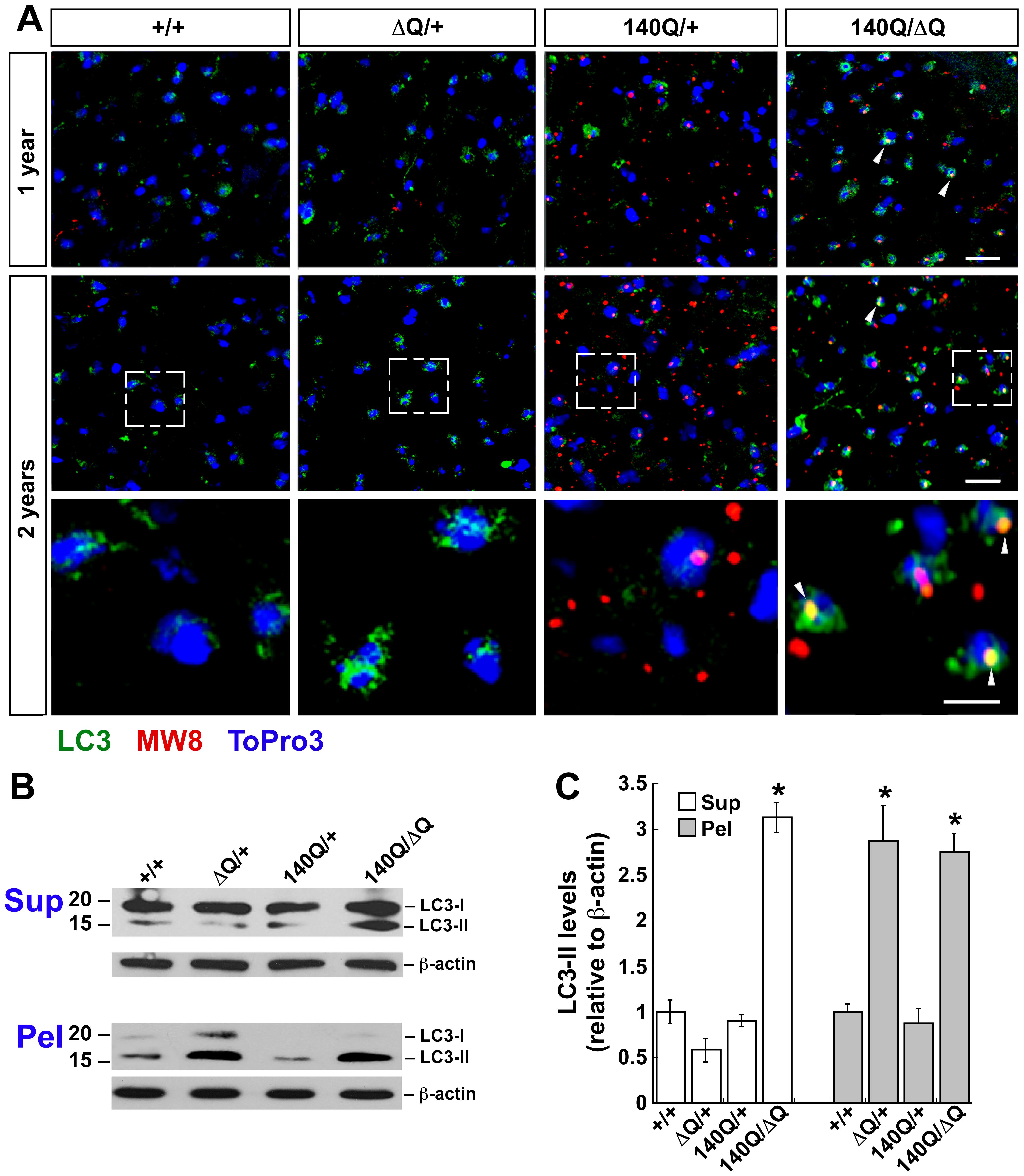ΔQ-htt expression in mice enhances LC3 immunostaining and LC3-II steady-state levels.