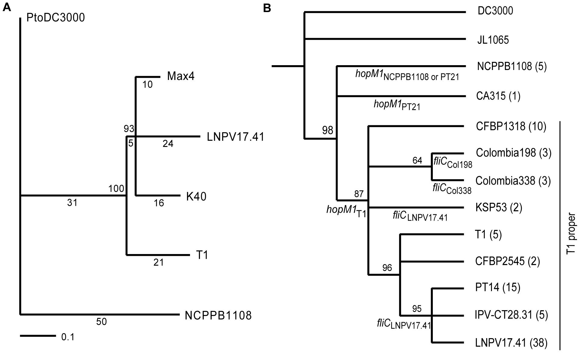 Phylogenetic trees based on SNPs reveal the evolutionary relationship between T1-like <i>Pto</i> strains.
