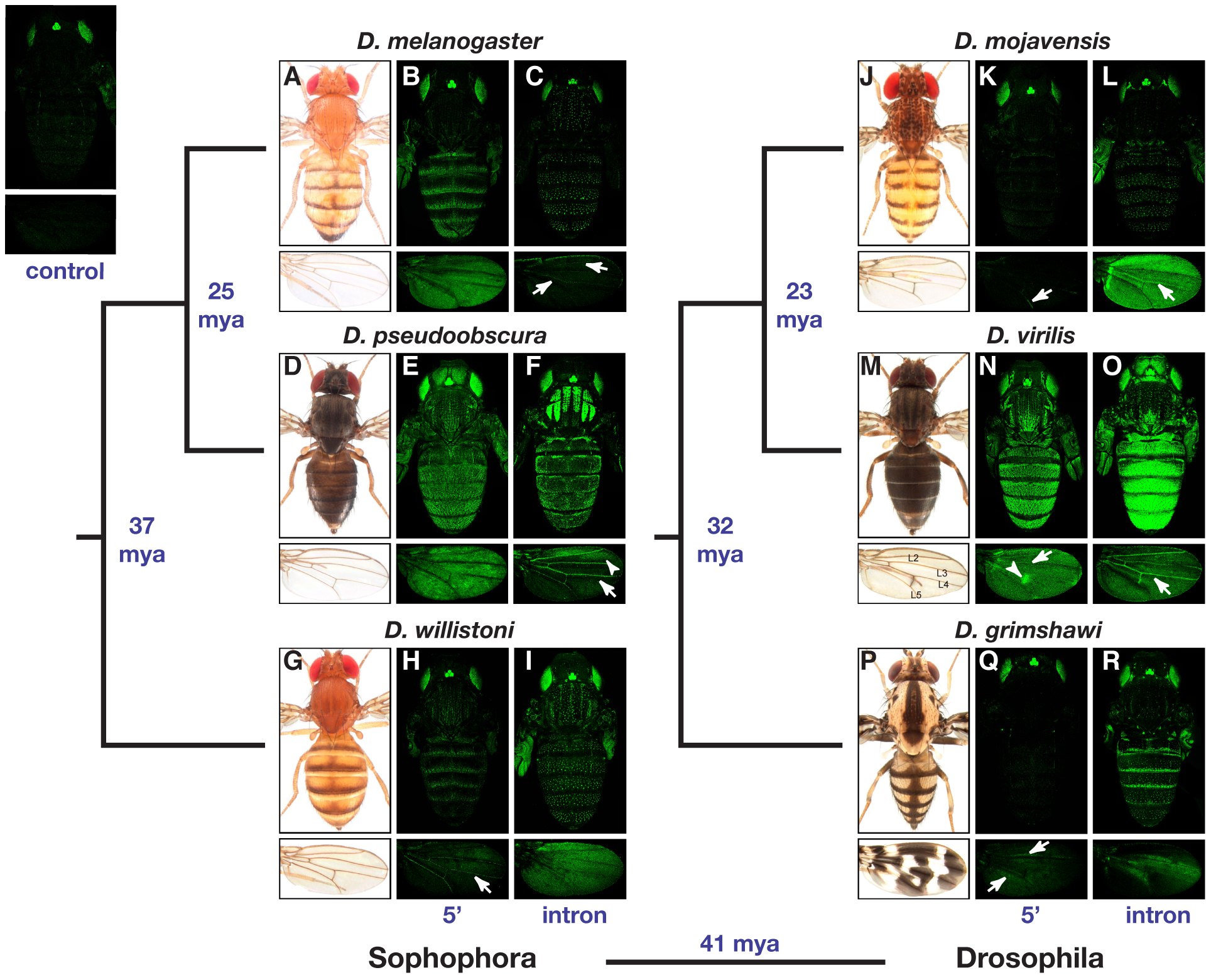 Location and activity of the <i>yellow</i> body and wing enhancers is highly divergent among Drosophila species.