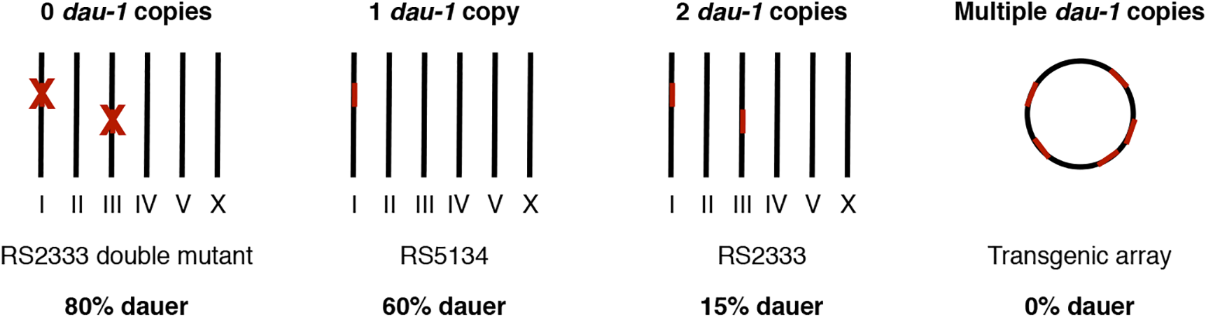 <i>dau-1</i> copy number variation.