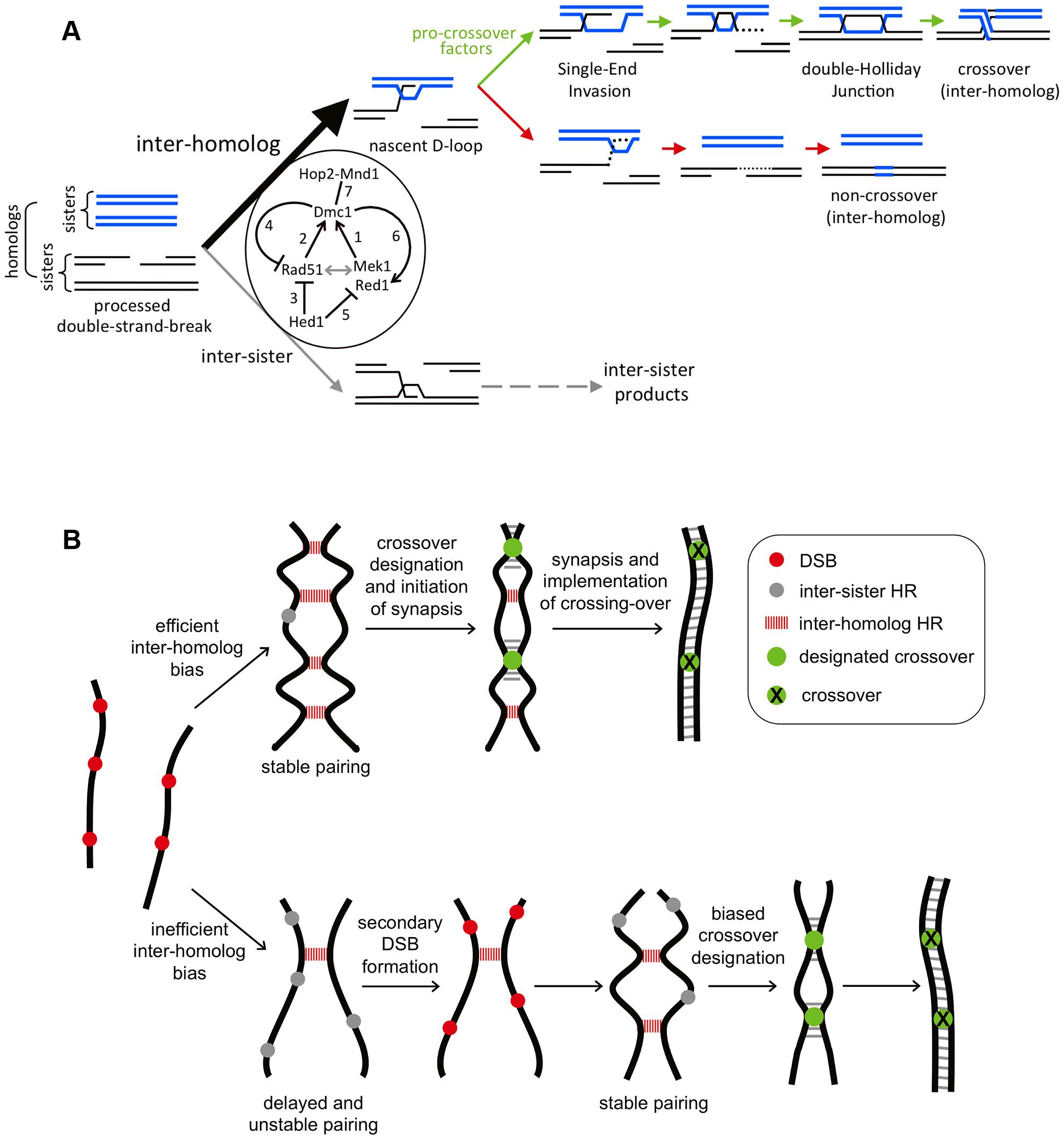 Models for Rad51-Dmc1 mediated interhomolog bias and homeostatic responses to inefficient interhomolog interactions.