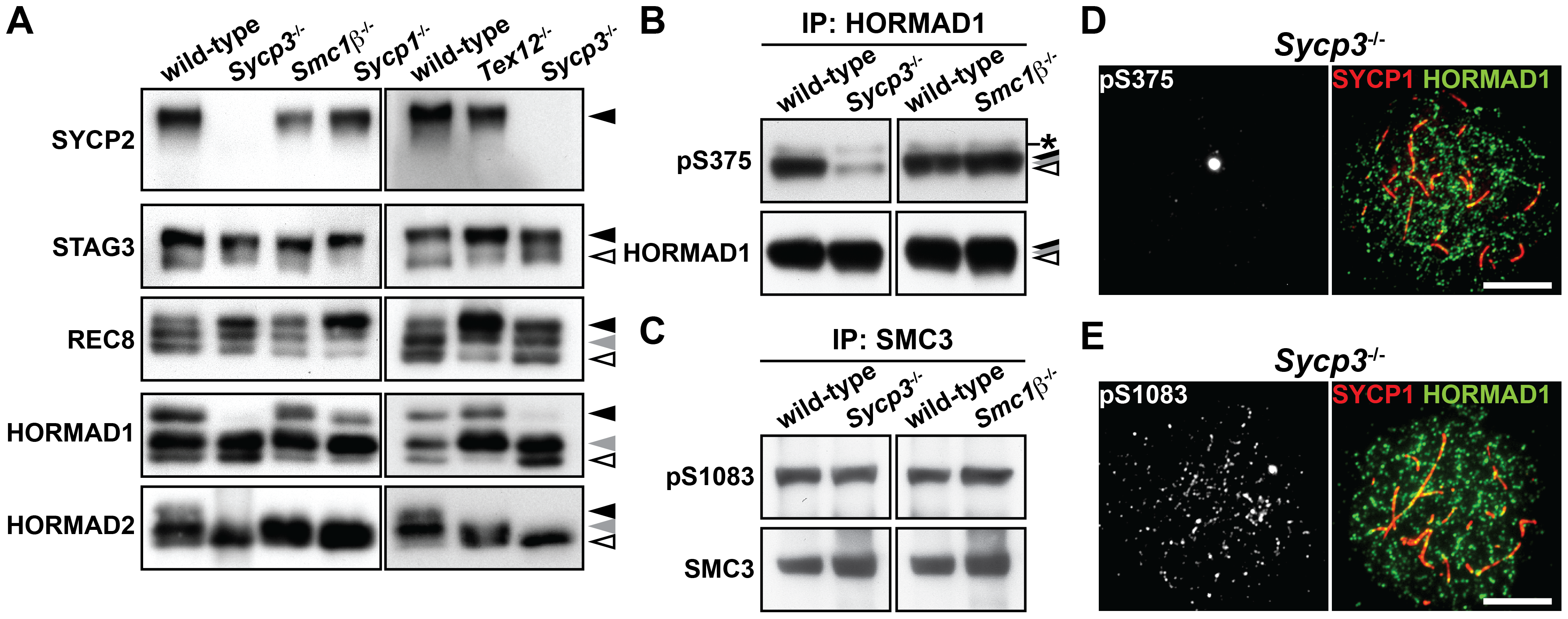 Phosphorylation of HORMAD1 is reduced in the absence of SYCP3.