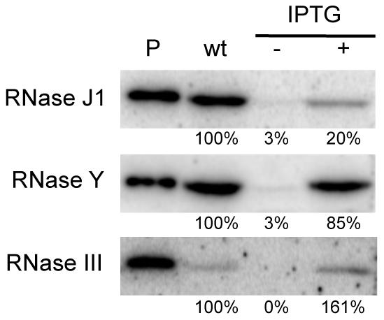 Western blot analysis of RNase depletion strains.