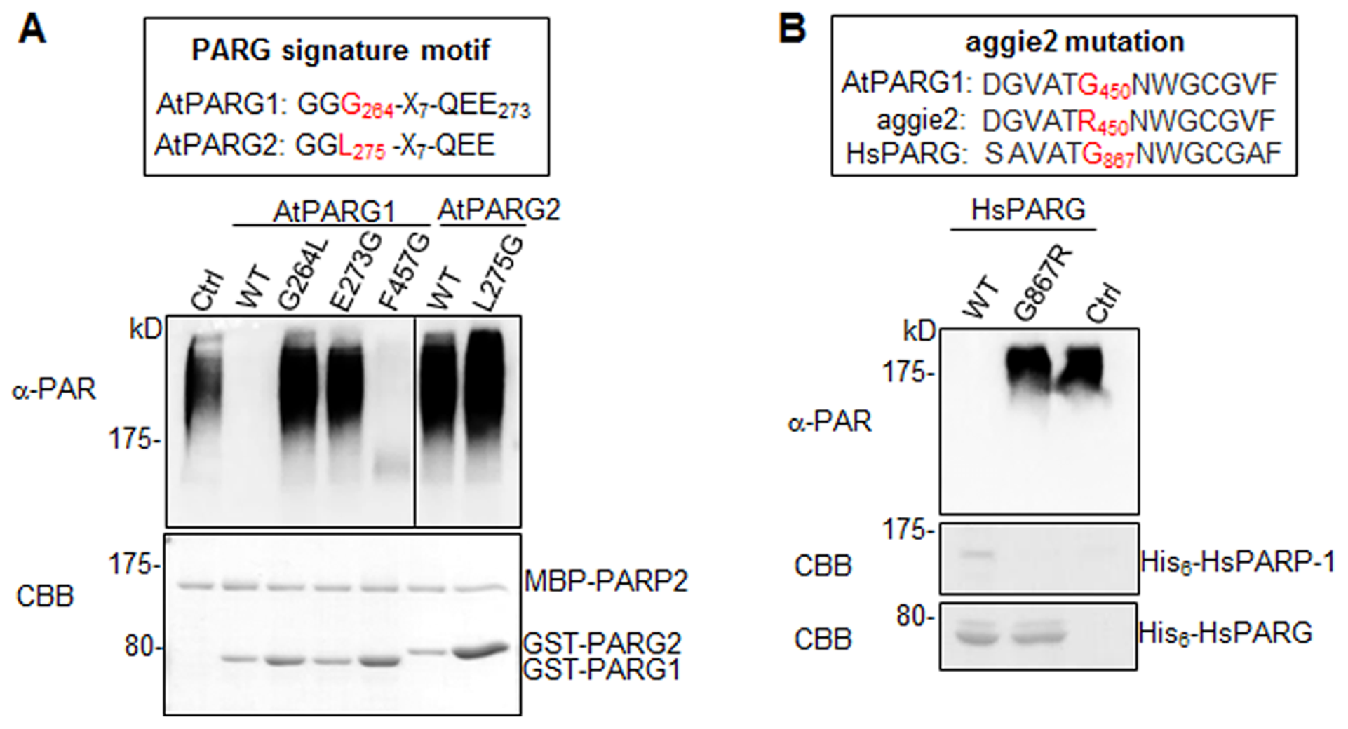 The signature motif and residue G450 are essential for PARG enzymatic activity.
