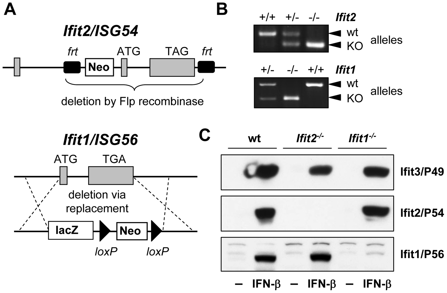 Generation of <i>Ifit2/ISG54</i> and <i>Ifit1/ISG56</i> knockout mice.