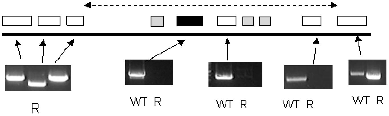 PCR analysis of the region of chromosome 8 housing the single copy <i>TbAAT6</i> (black box) in <i>T. brucei</i>.