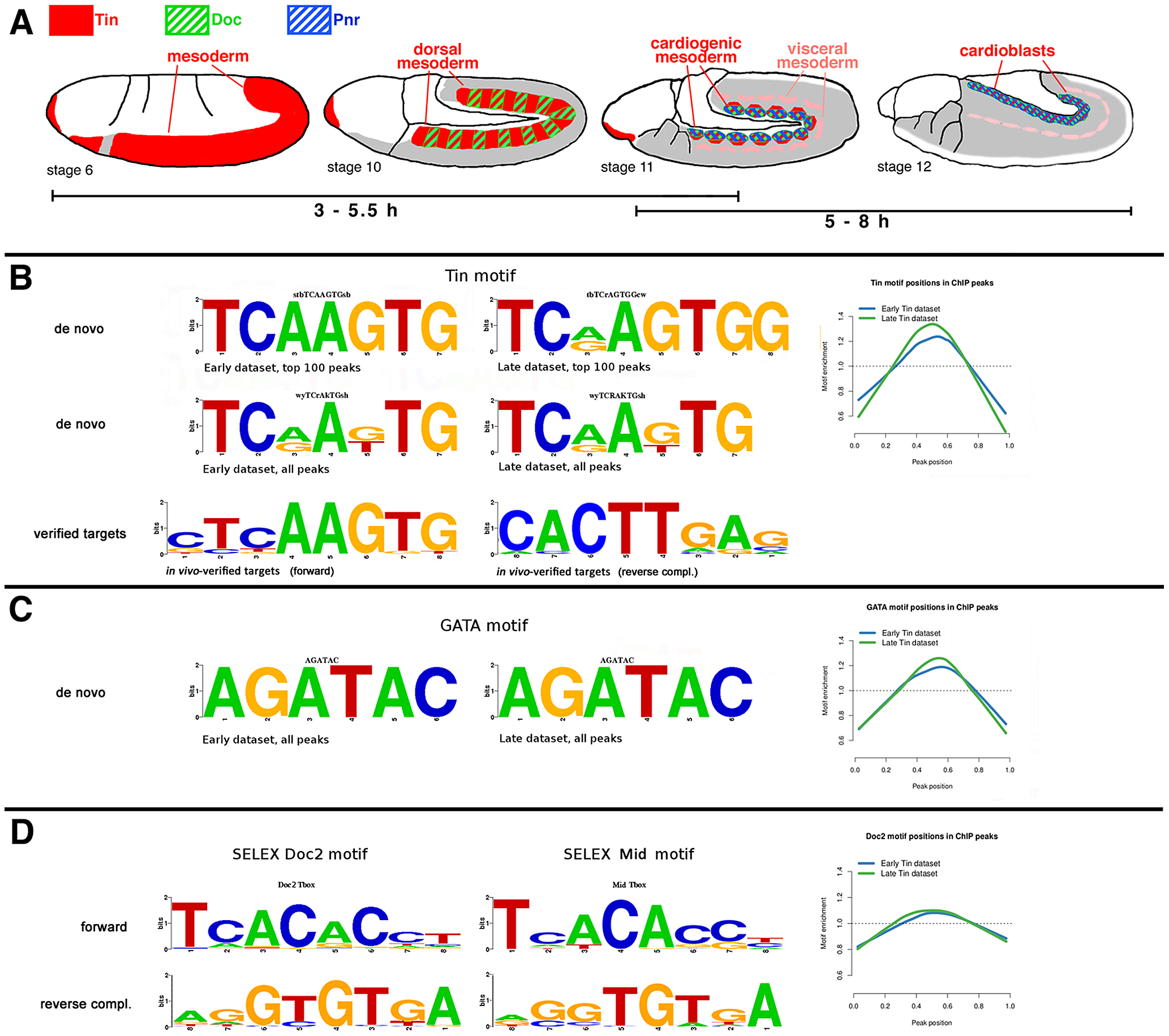 Sequence motifs enriched in Tin binding regions.
