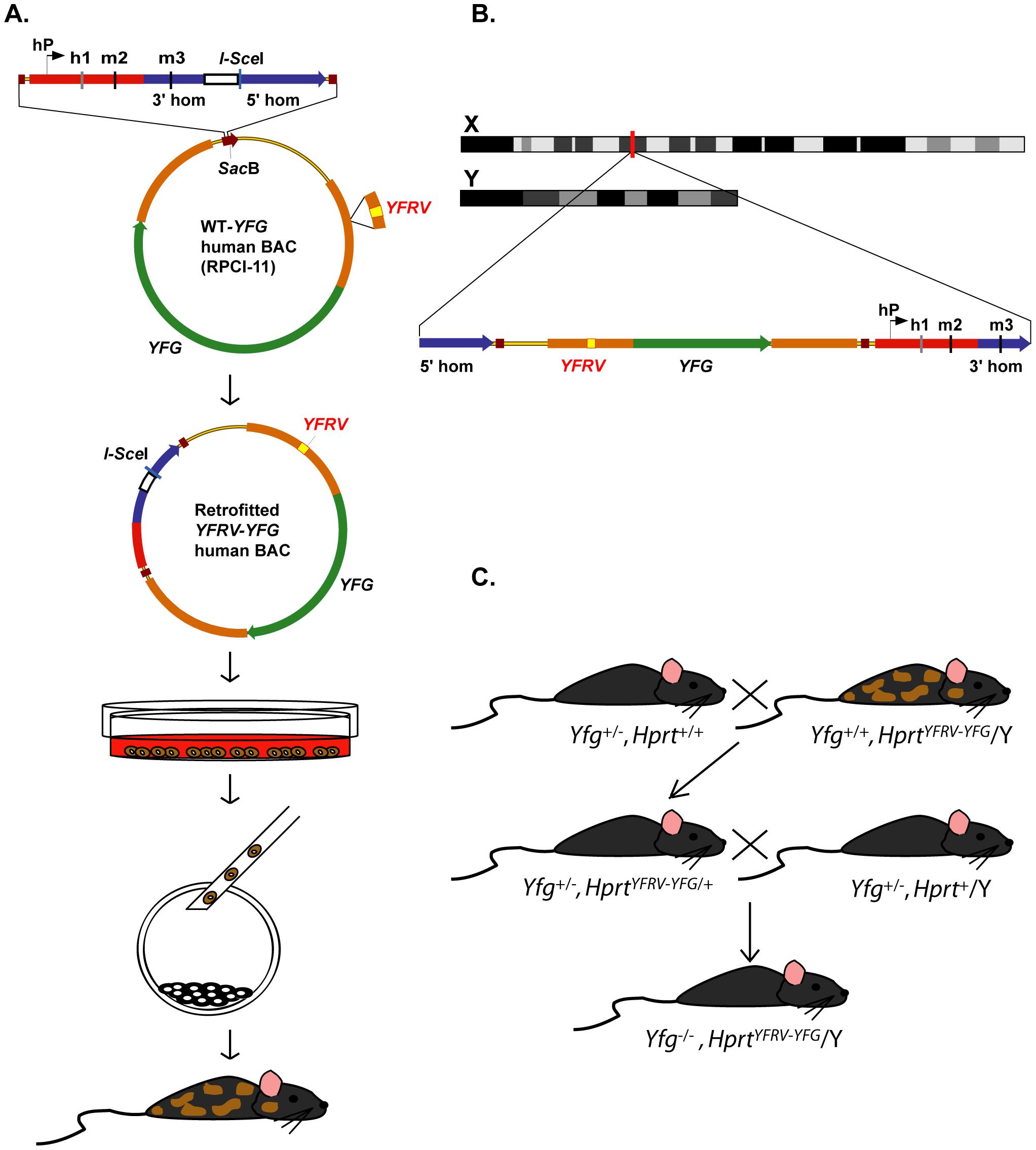 Strategy for high-throughput human genes on the X chromosome (HuGX).