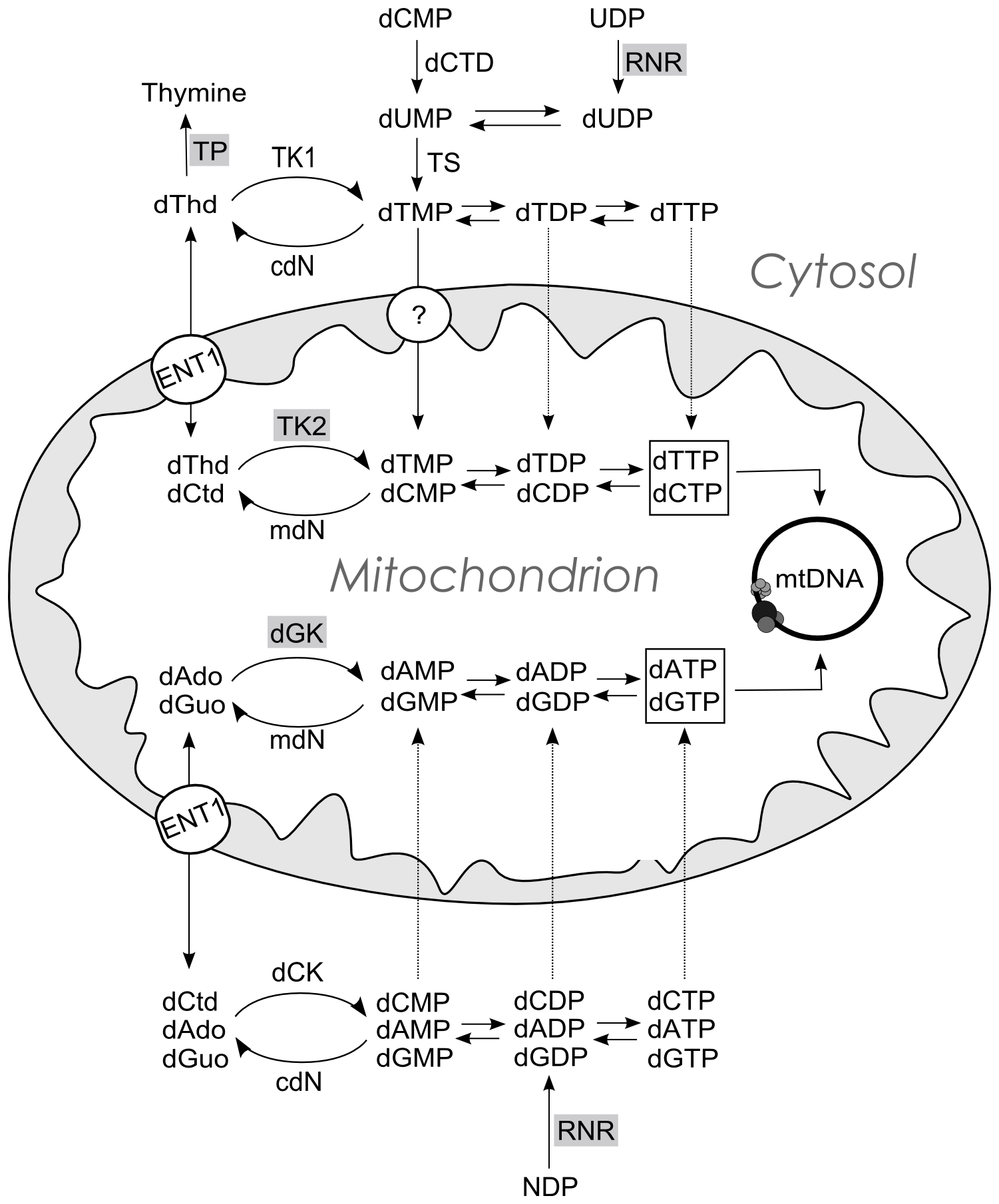 Schematic representation of the metabolic pathways that supply dNTPs for mtDNA replication.