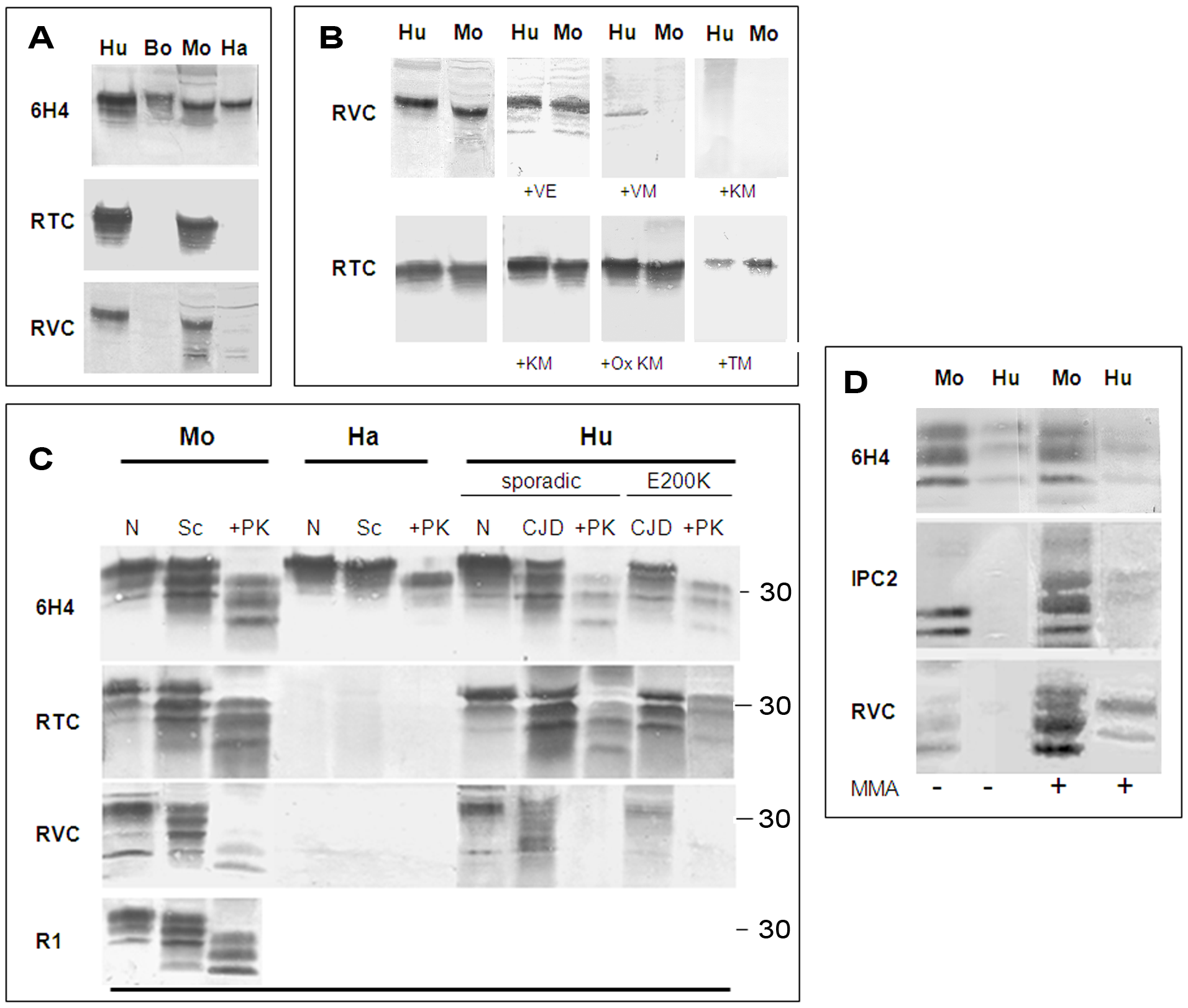 Testing for the activity of anti-Helix-3 antibodies: pAb RVC does not recognize PrP<sup>Sc</sup> generated in prion infected brains.