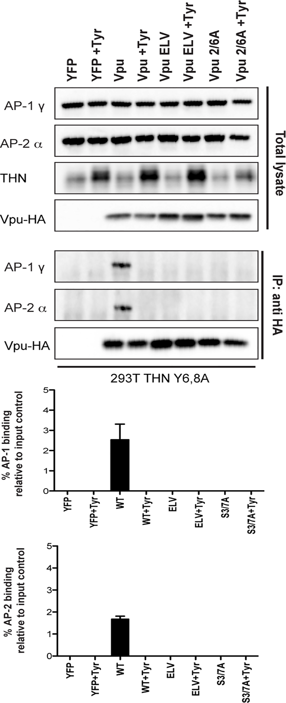 Vpu interaction with clathrin adaptors AP-1 and AP-2 is abrogated following treatment with CKII inhibitor, Tyrphostin.
