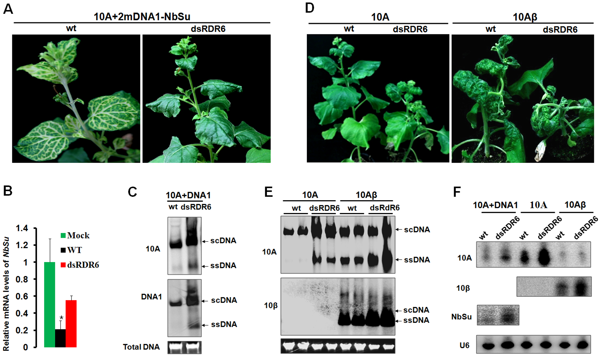 Compromised VIGS efficiency and enhanced susceptibility to TYLCCNV infection in RDR6-deficient <i>Nicotiana benthamiana</i> plants.