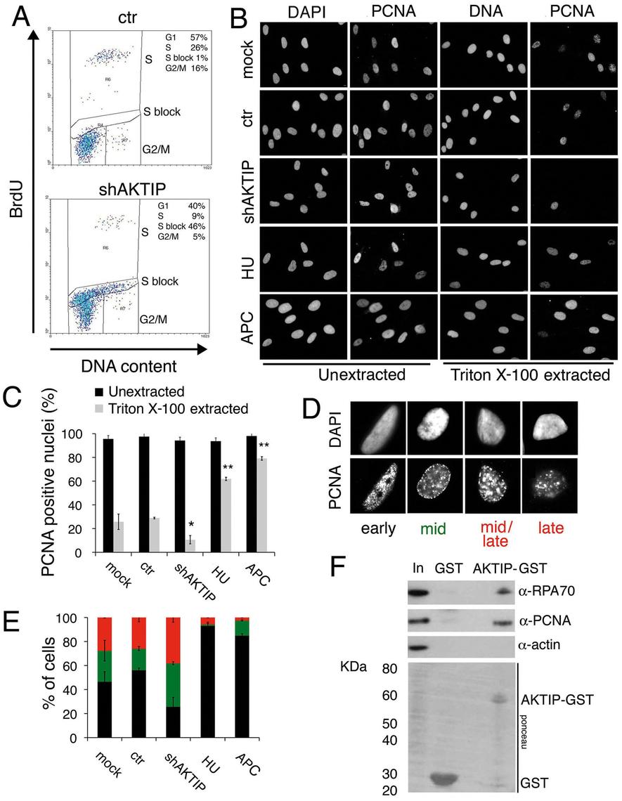 AKTIP downregulation impairs DNA replication.