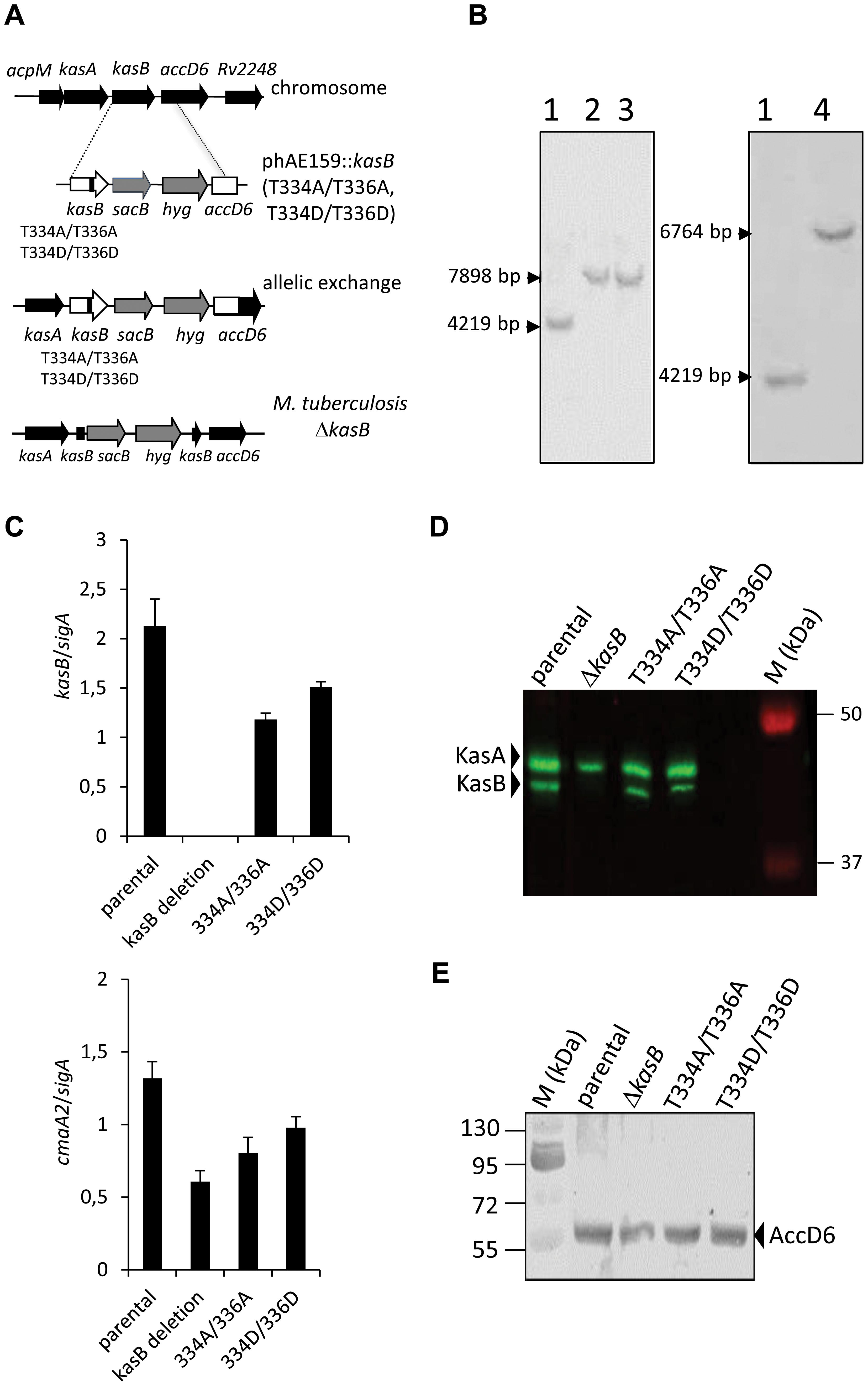 Construction of isogenic <i>M. tuberculosis</i> CDC1551 strains bearing the phosphoablative or phosphomimetic <i>kasB</i> alleles.
