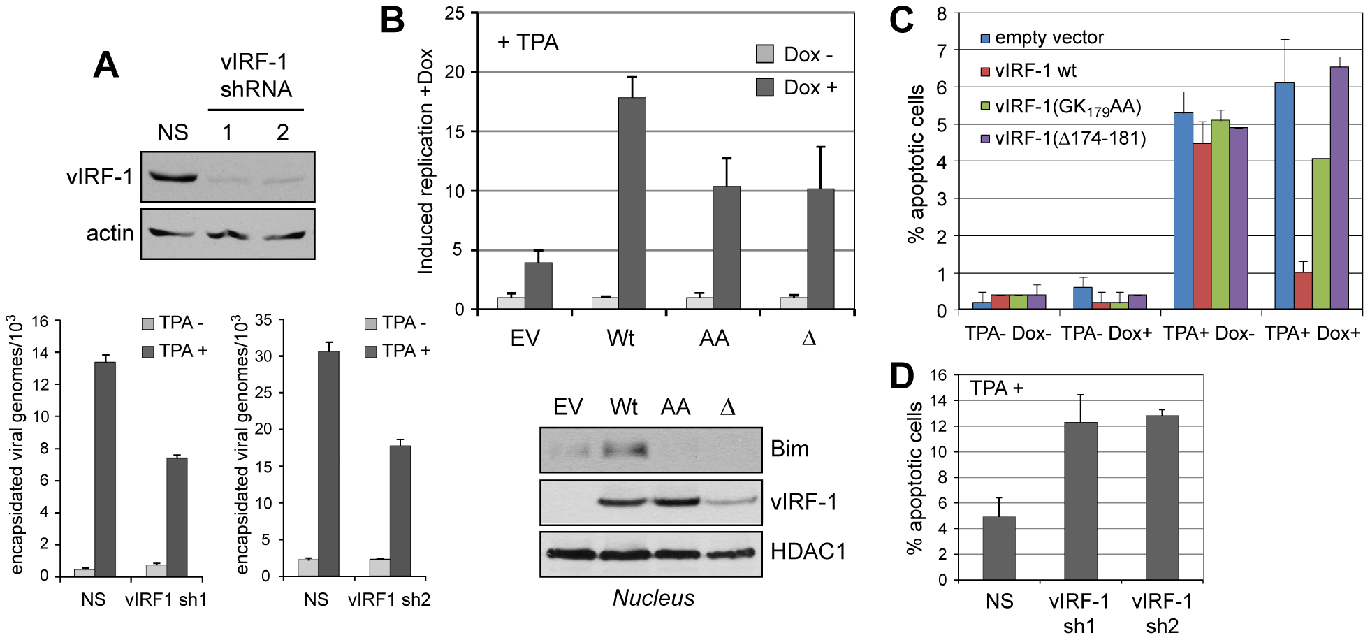 vIRF-1 function and significance of vIRF-1:Bim interaction in the context of virus infection.