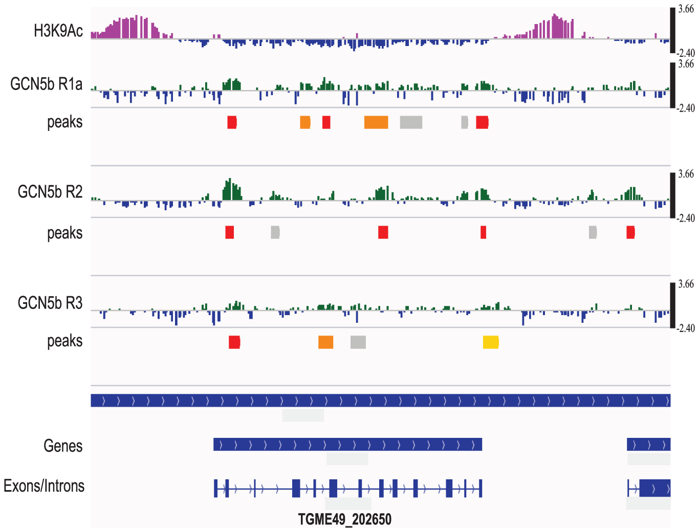 GCN5b associates with genes containing introns, but is not preferentially associated with promoters.