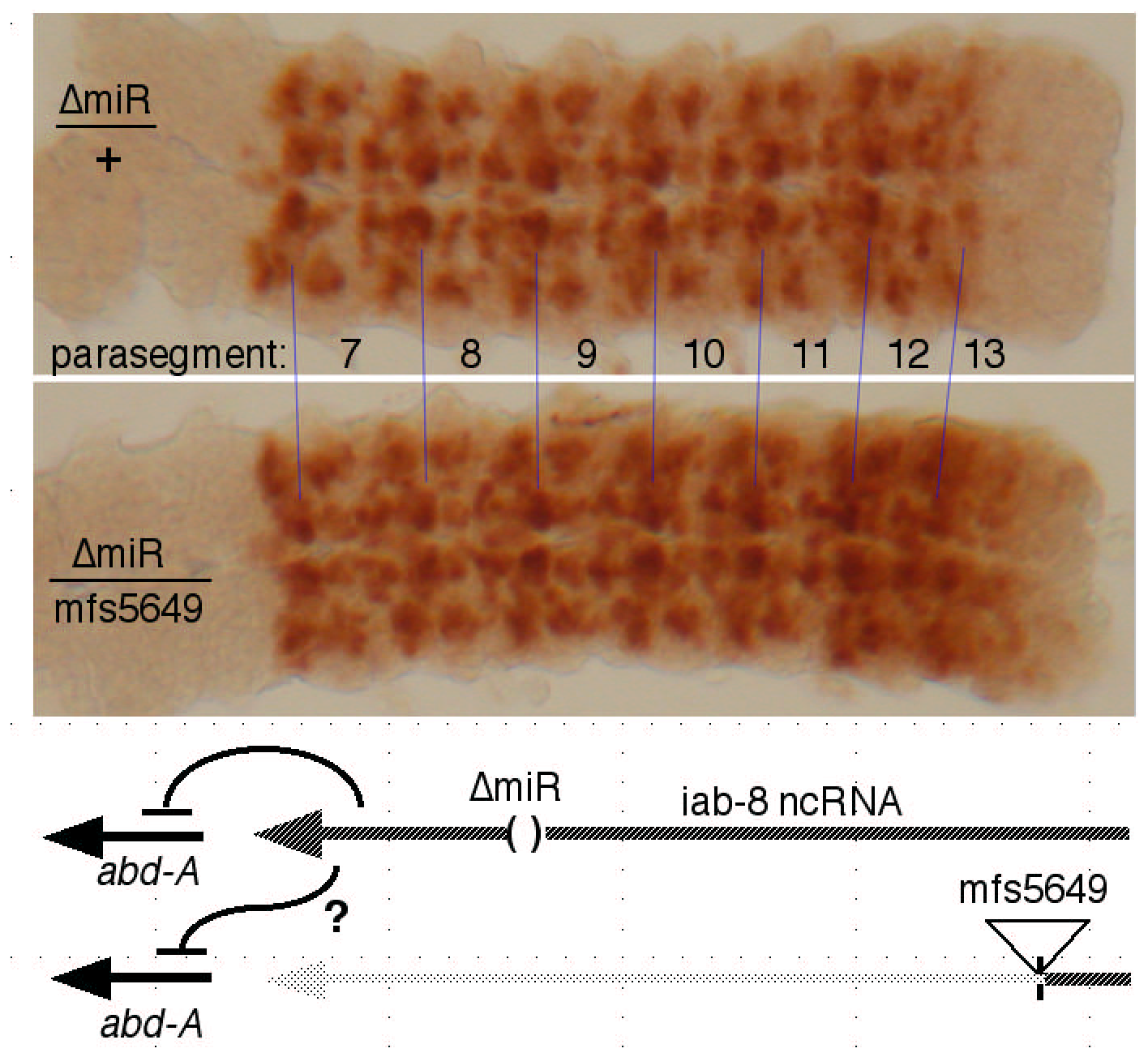 Test for <i>trans</i> repression by the iab-8 ncRNA.