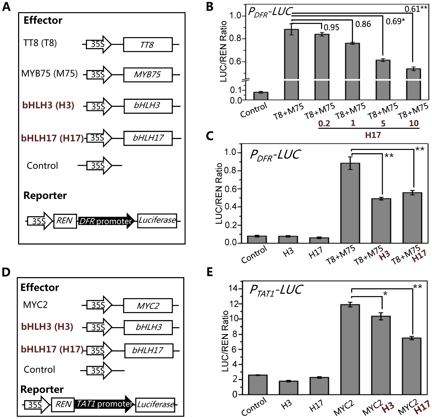 The bHLH3 and bHLH17 antagonize TT8/MYB75 and MYC2 to negatively regulate their downstream target genes.