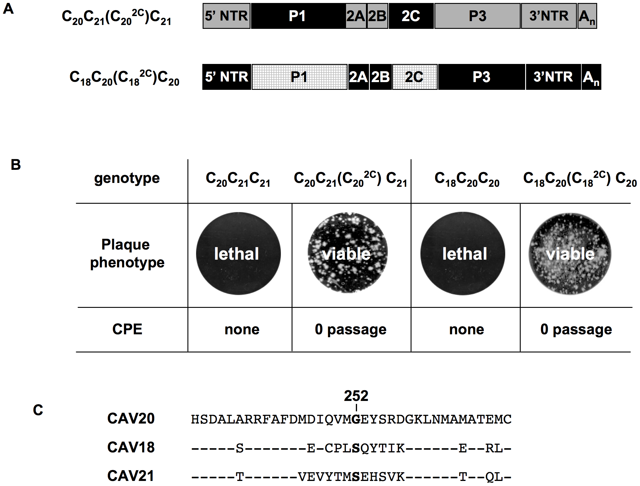Rescue of lethal C-CAV chimeras by 2C<sup>ATPase</sup> of the same origin as P1.