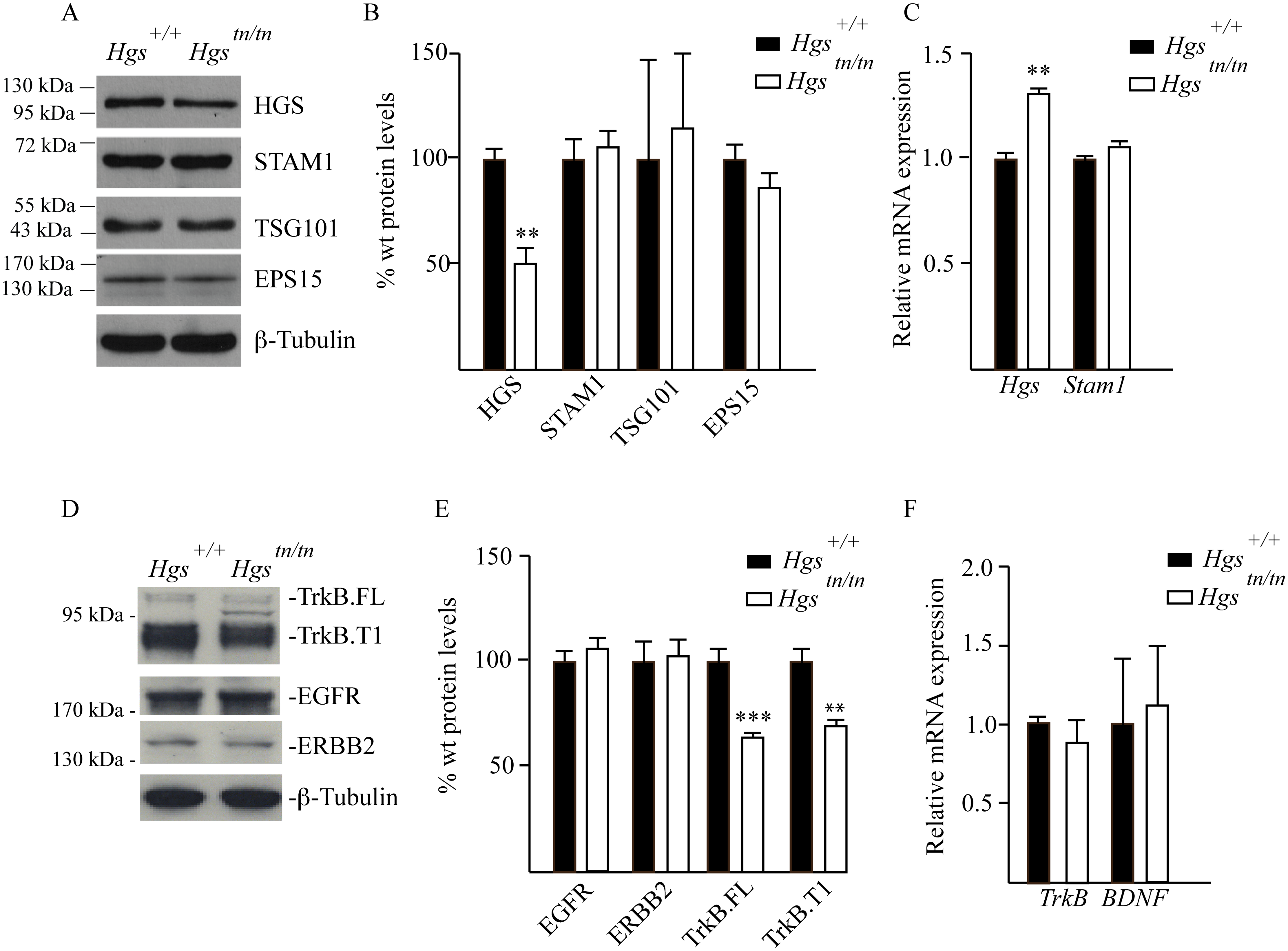 Analysis of ESCRT and RTK expression in the sciatic nerves of 4-week-old <i>Hgs</i><sup><i>+/+</i></sup> and <i>Hgs</i><sup><i>tn/tn</i></sup> mice.