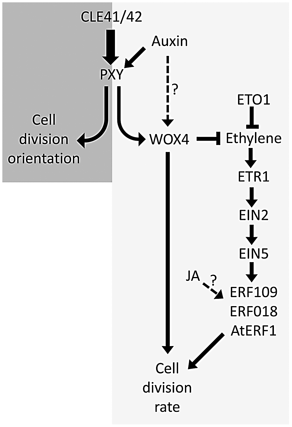 Model showing ethylene and PXY signalling act in parallel pathways in vascular development.