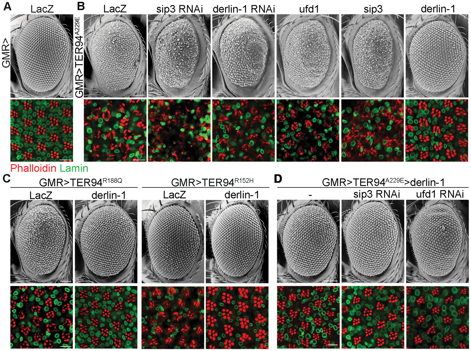 Derlin-1 modifies the neurodegeneration associated with the pathogenic TER94 mutants.