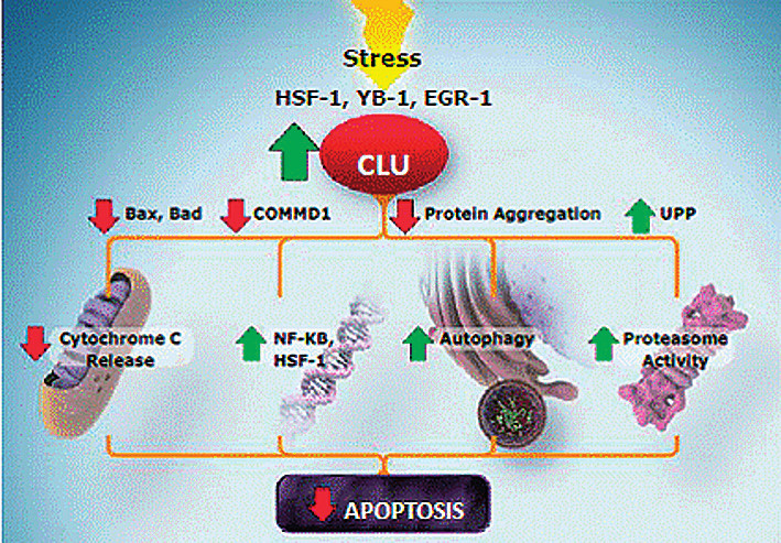 Apoptotický účinek clusterinu Fig. 4. Clusterin apoptotic effect