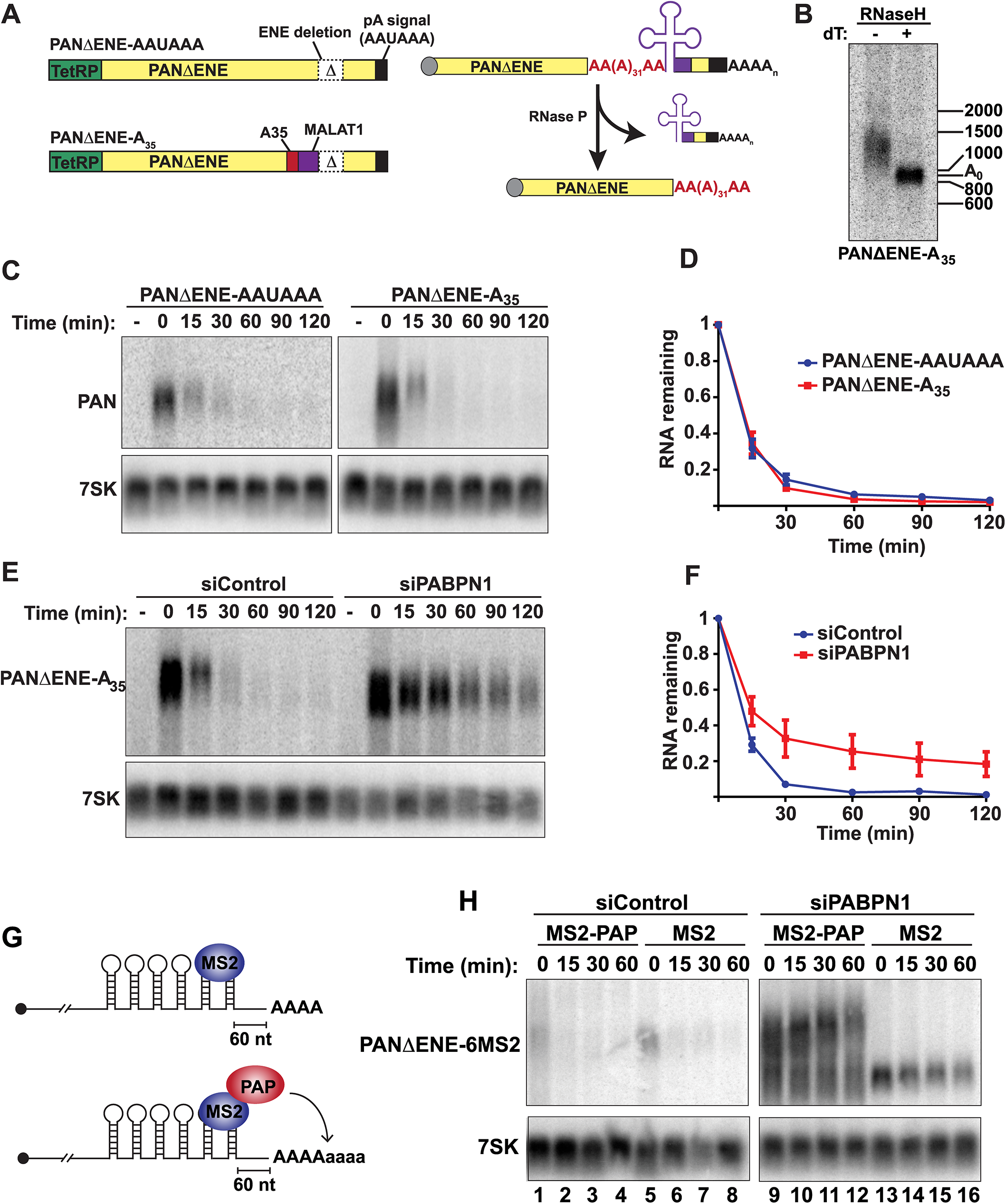 Role of hyperadenylation in PPD.
