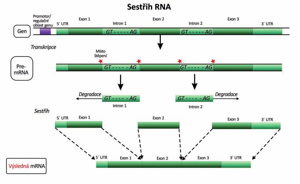 Vystřižení (splicing) intronů z pre-mRNA a spojení exonů na zralou mRNA (16). UTR – untranslated region (nekódující oblast), GT-AG – donor-akceptorová sekvence nukleotidů na 5´ a 3´ konci intronu jako nejběžnější signál pro vyštěpování intronů.