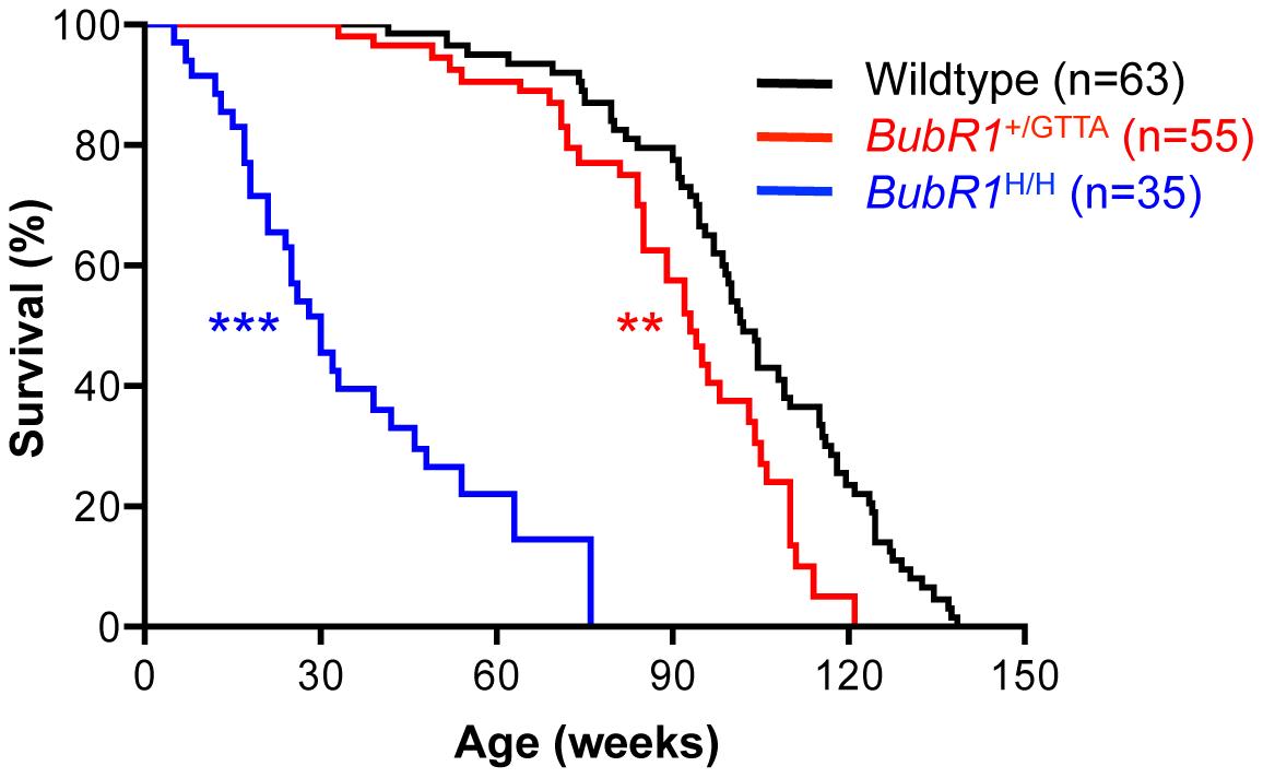 Lifespan of <i>BubR1</i><sup>+/GTTA</sup> is reduced.