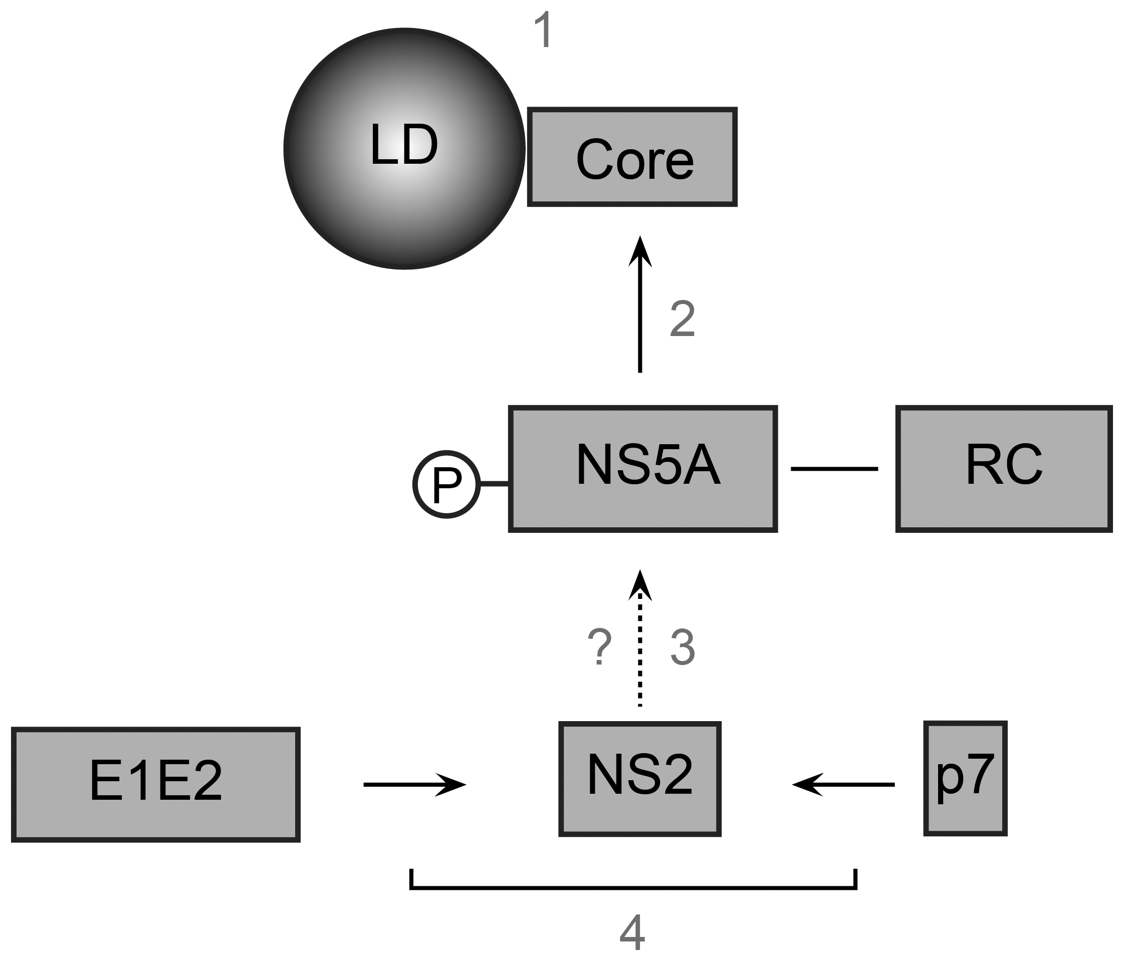 Model of NS2 role in the assembly process.