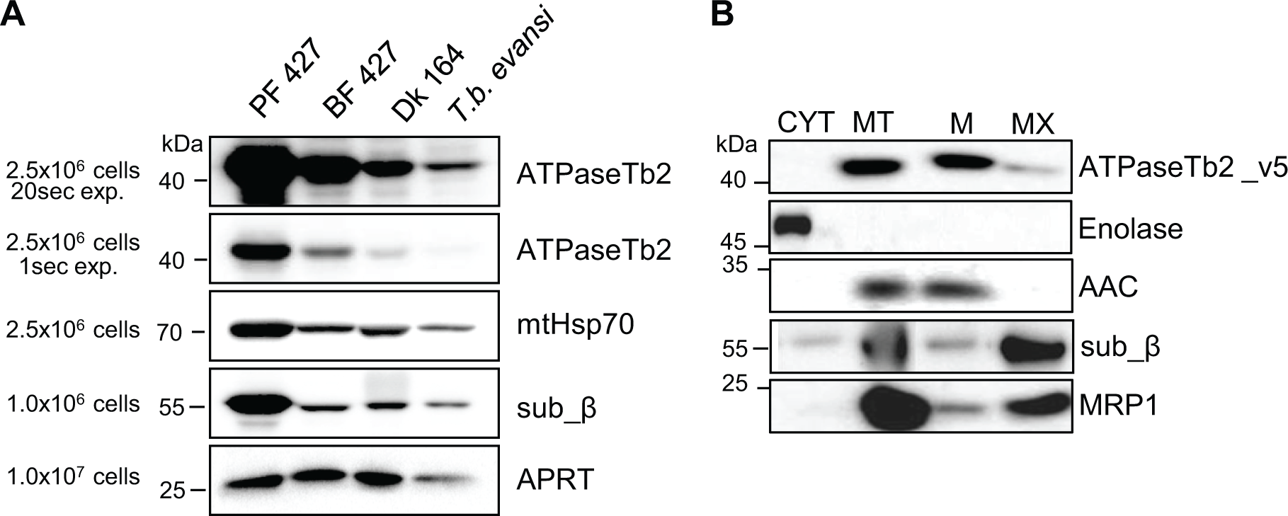 ATPaseTb2 is expressed in PF427, BF427, Dk164 <i>T</i>. <i>brucei</i> and <i>T</i>. <i>b</i>. <i>evansi</i> cells and it is a membrane-bound protein.