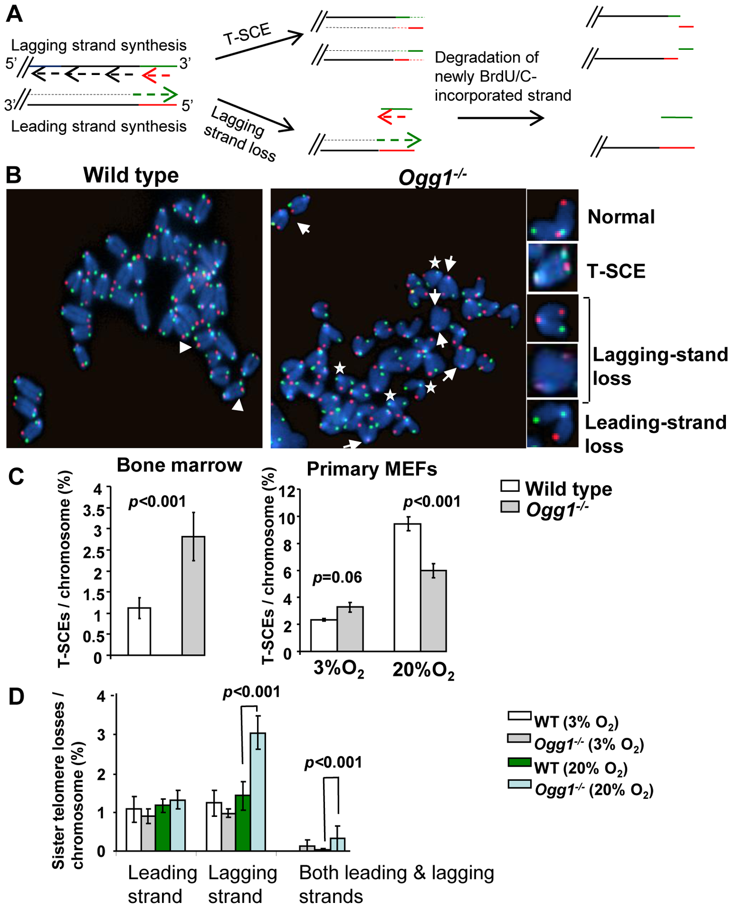 T-SCEs and telomere lagging or leading strand loss in wild-type and <i>Ogg1<sup>−/−</sup></i> mouse cells.