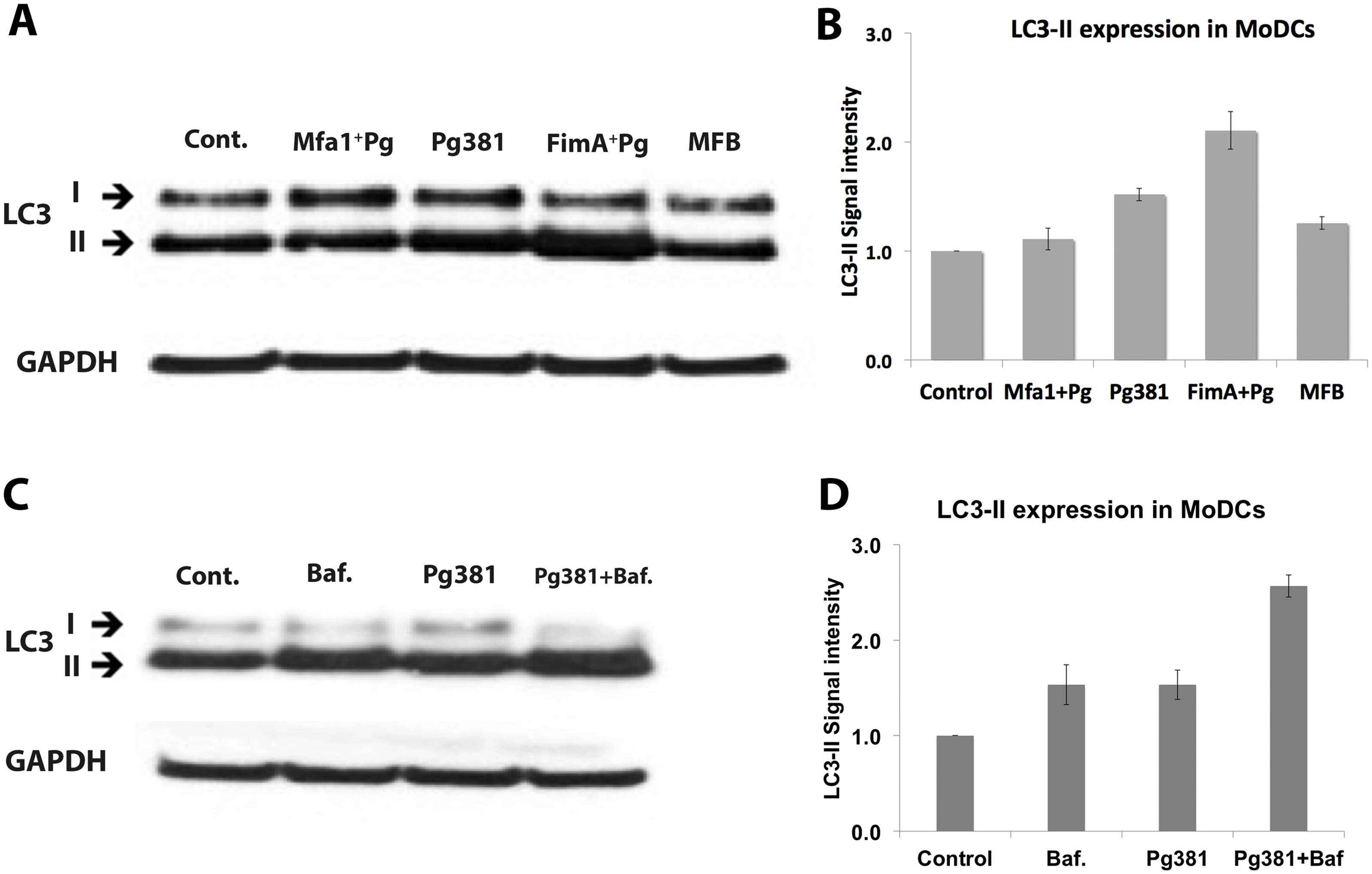 Low LC3-II expression in MoDCs infected with <i>P. gingivalis</i> expressing Mfa1.