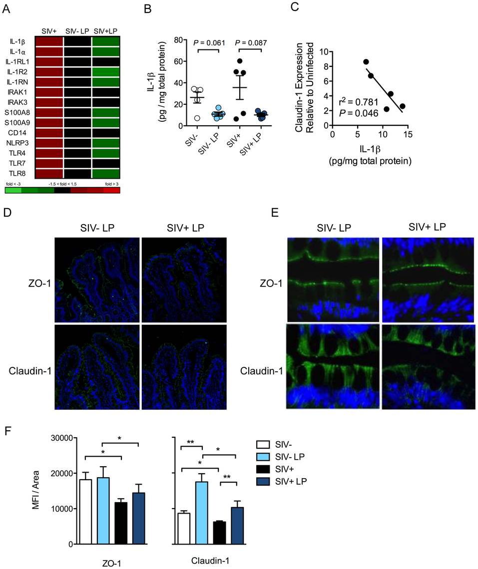<i>L. plantarum</i> suppresses mediators of inflammation and enhances epithelial tight junction integrity.