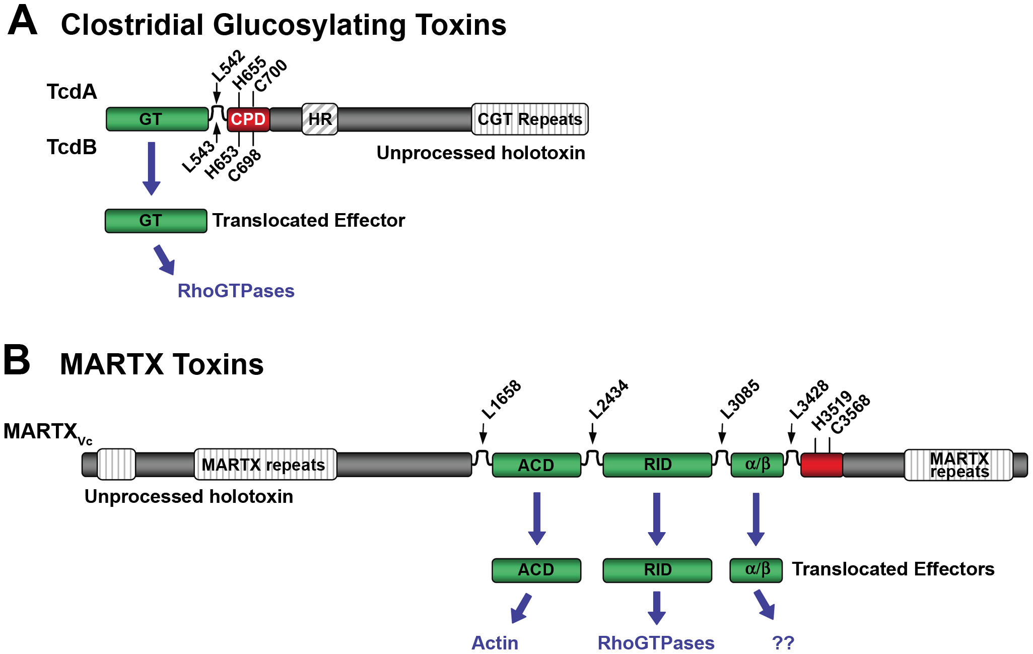 Schematic diagrams representing CPD-dependent autoprocessing sites within CGTs and MARTX toxins.
