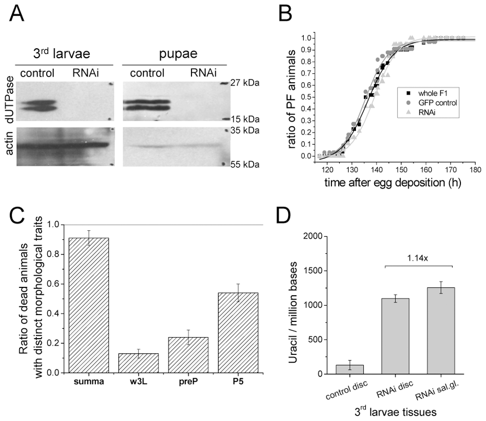 Silencing of dUTPase in <i>Drosophila</i> larvae and pupae.
