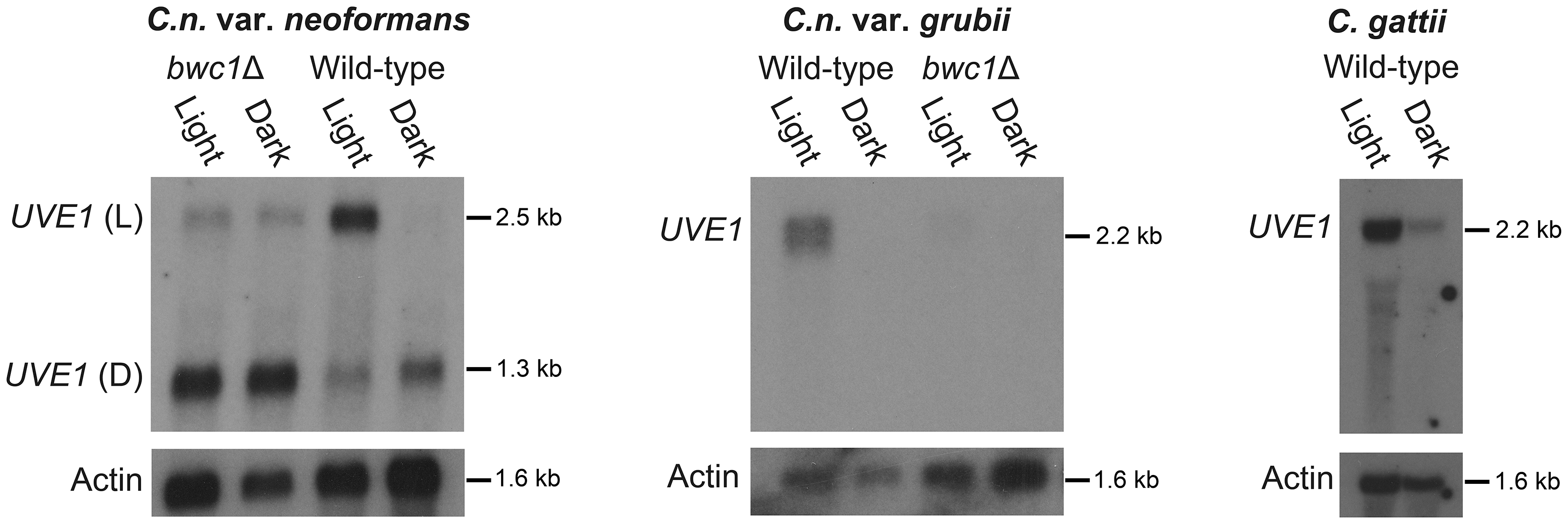 <i>UVE1</i> is a Bwc1-regulated gene in <i>Cryptococcus</i>.