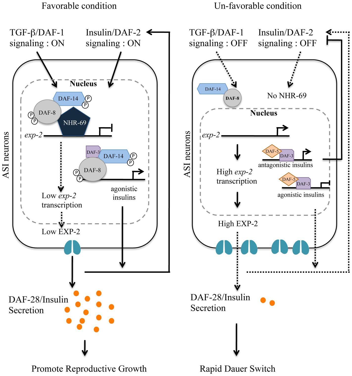 Working model for DAF-8 and NHR-69 modulation of insulin secretion in <i>C. elegans</i>.