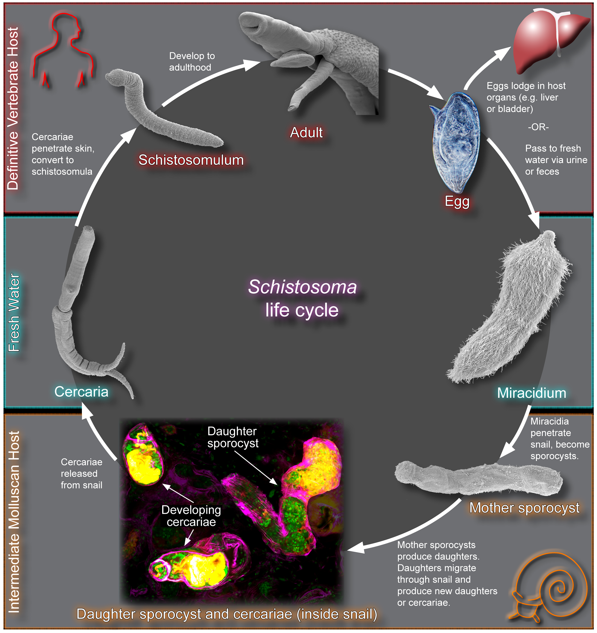 The schistosome life cycle.