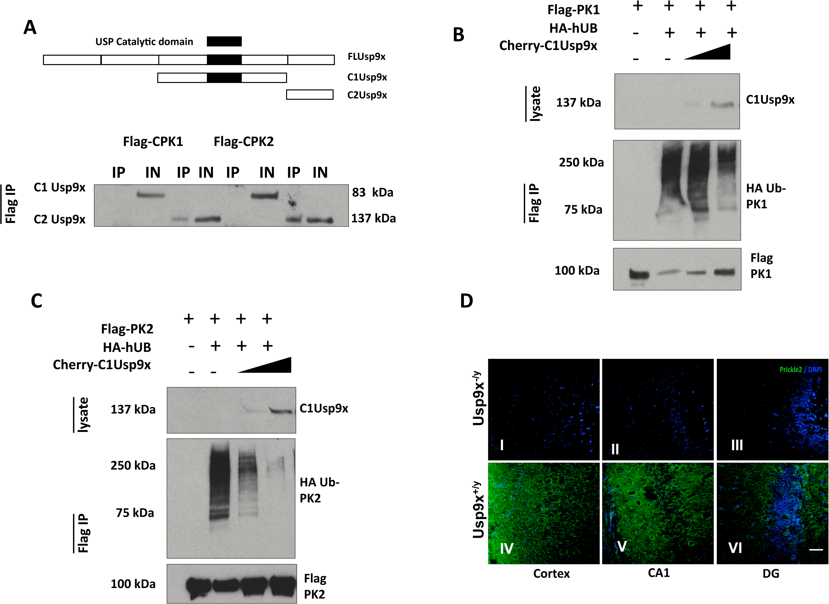 USP9X stabilizes PRICKLE in HEK293T cells and the mouse brain.
