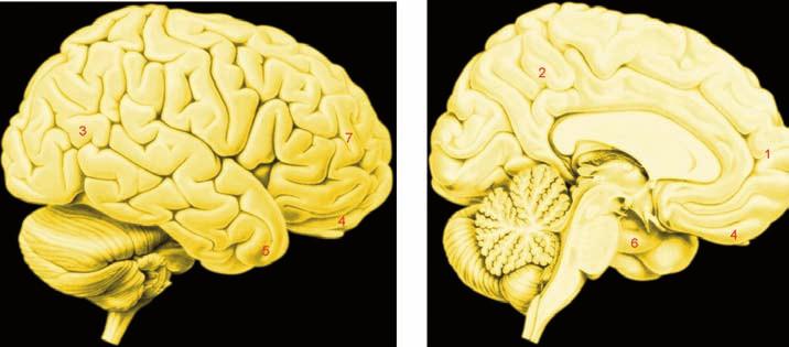 """""""Morální mozek"""": oblasti označené čísly jsou uzly neuronálních sítí velkého rozsahu aktivovaných řešením morálních problémů"""