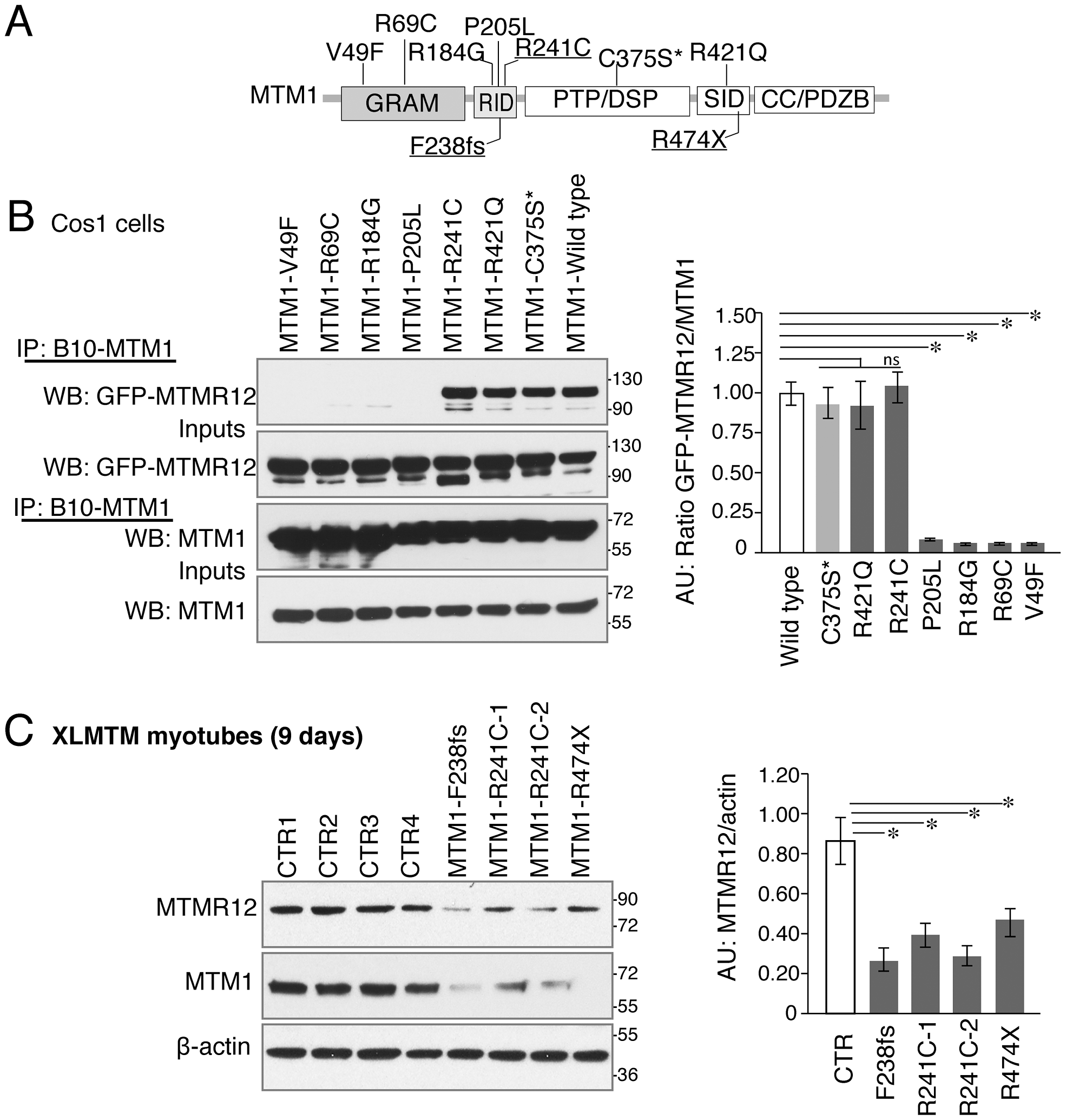 Myotubularin-MTMR12 interactions in XLMTM.