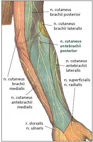 Oblast senzitivní inervace nervus cutaneus antebrachii posterior.