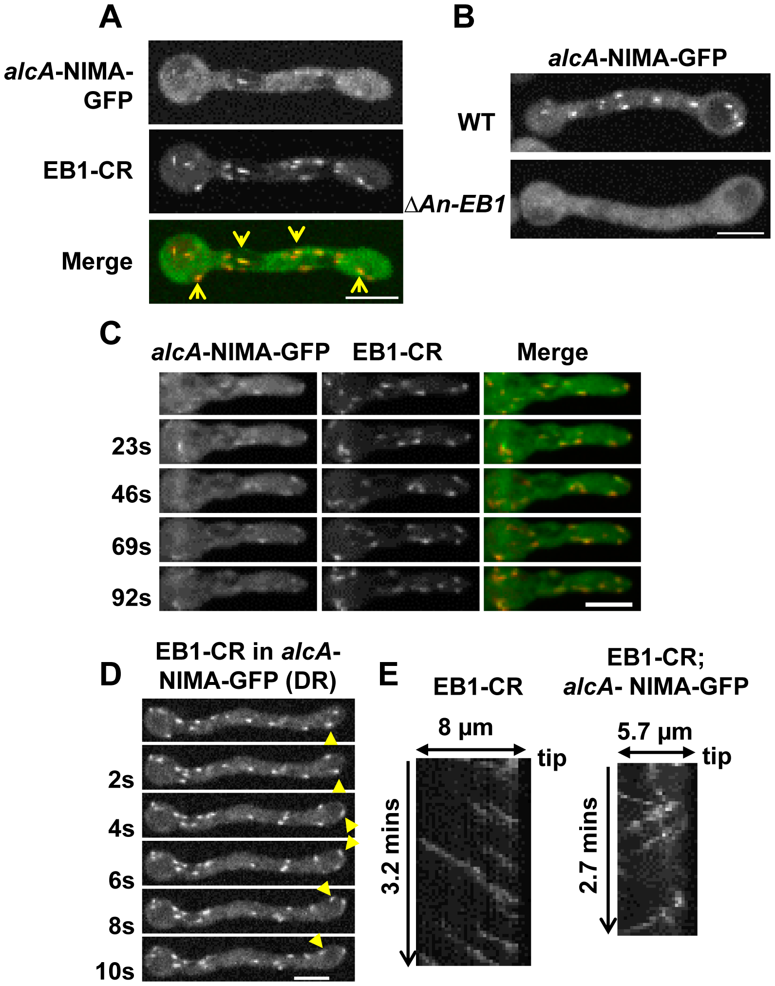Ectopic NIMA-GFP locates to the plus ends of microtubules in an EB1 dependent manner.
