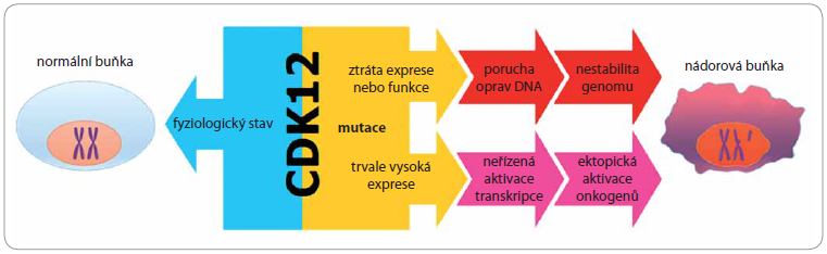 Vliv deregulace CDK12 na proces iniciace a rozvoje nádoru.