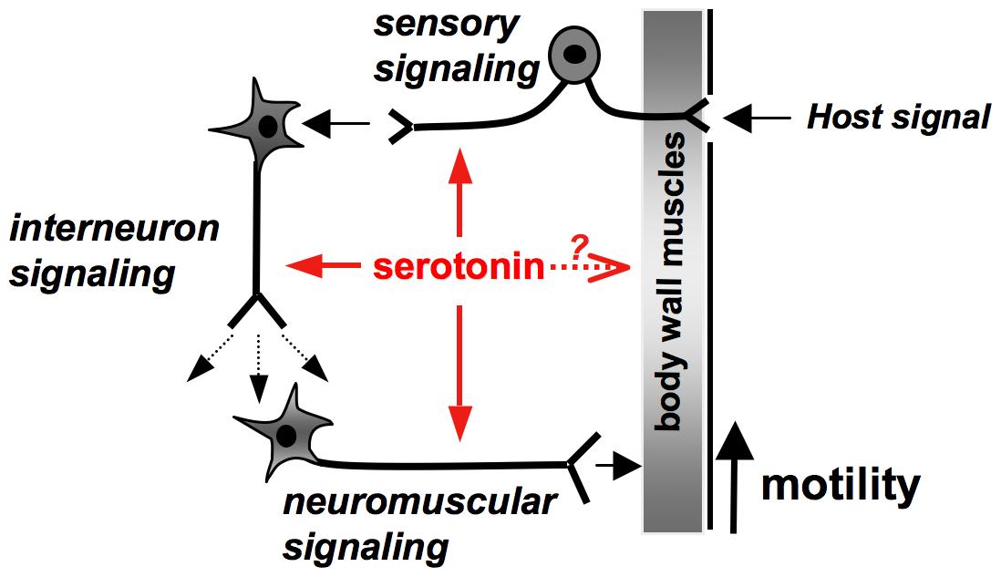Model of serotonin signaling mediated by Sm5HTR in <i>S. mansoni</i>.
