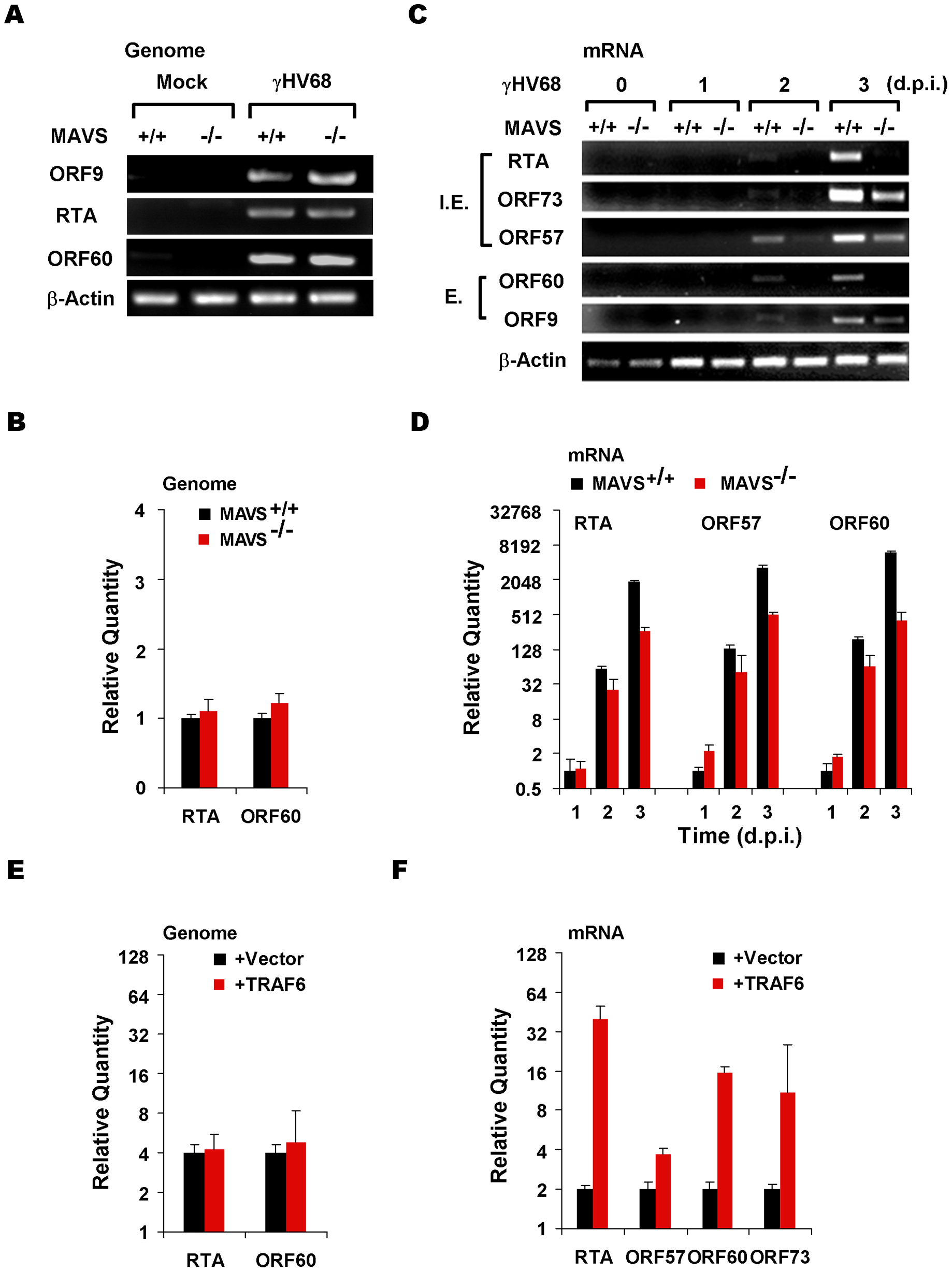 The MAVS-IKKβ pathway is important for γHV68 mRNA production.